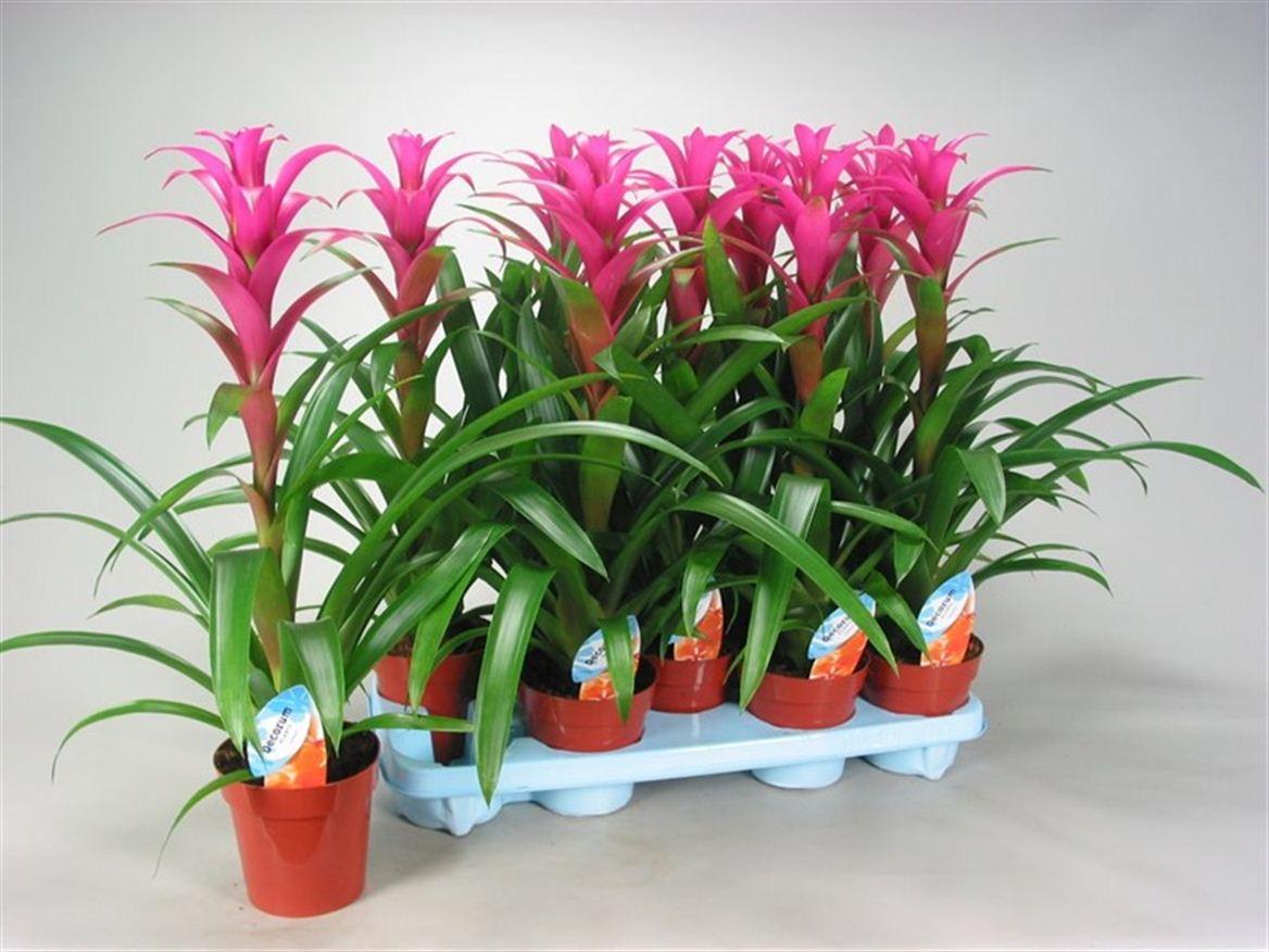 Комнатные цветы гузмания: уход в домашних условиях с фото 91