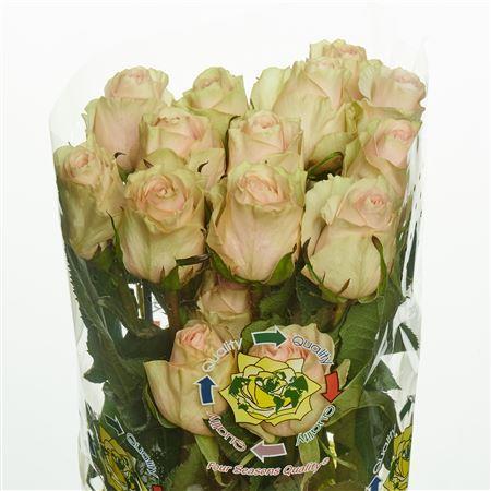 Rose Frutetto (Роза Фрутетто) B60 Piaveri