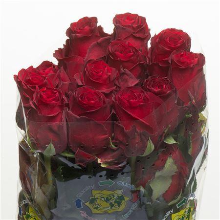 Rose Explorer (Роза Эксплорер) B50 Piaveri