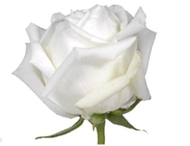 Rose Polo (Роза Поло) B60 Royal Flowers