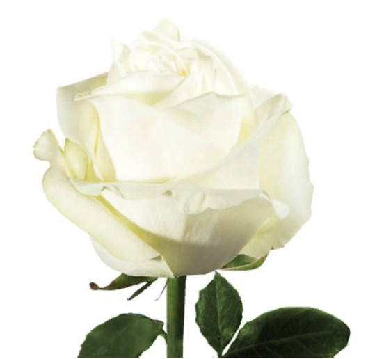 Rose Polar Star (Роза Полар Стар) B50 Royal Flowers
