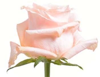Rose Shimmer (Роза Шиммер) B50 Piaveri