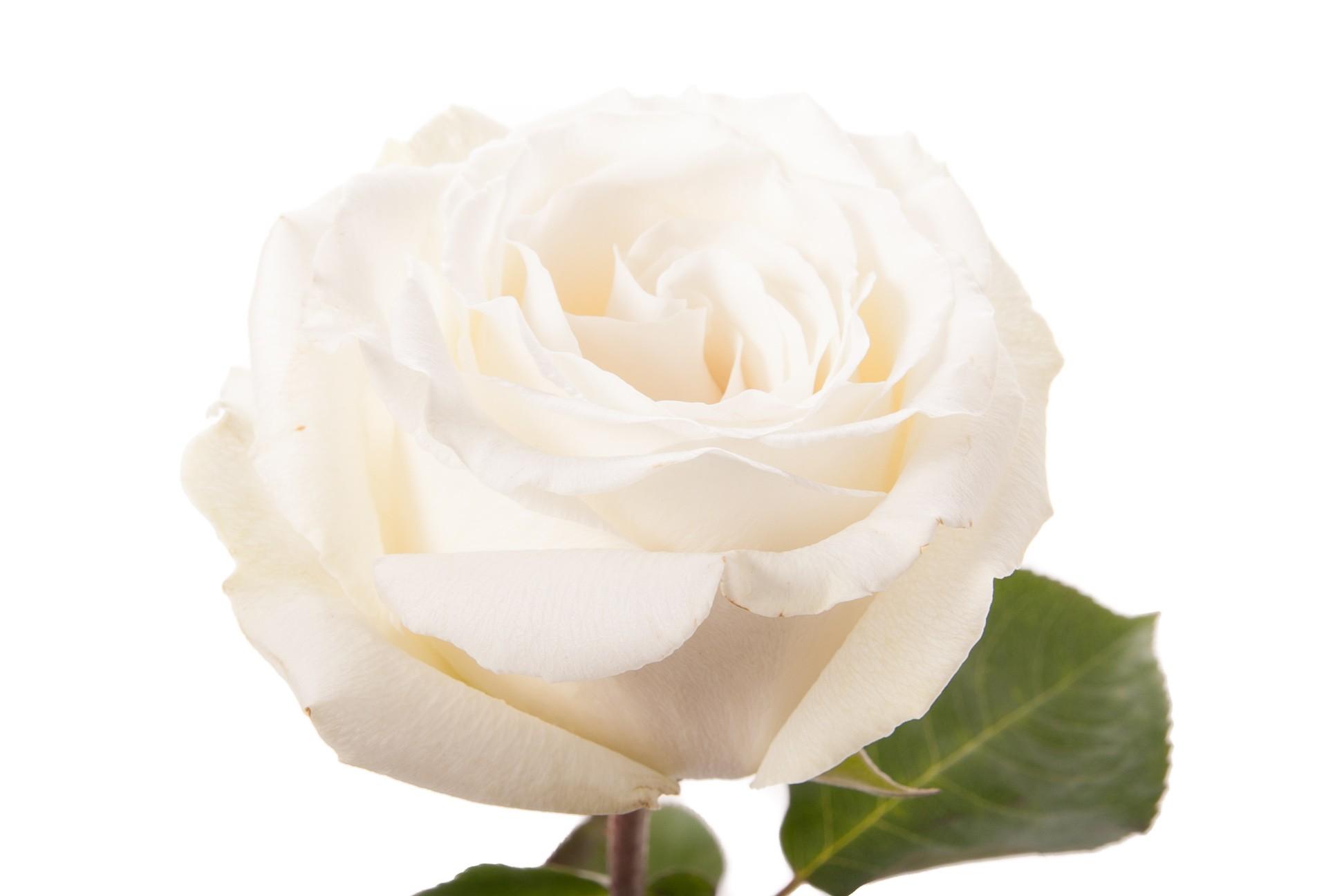 Rose White Dove (Роза Вайт Дав) B40 Royal Flowers