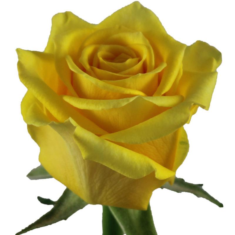 Rose Super Sun (Роза Супер Сан) B50 Piaveri
