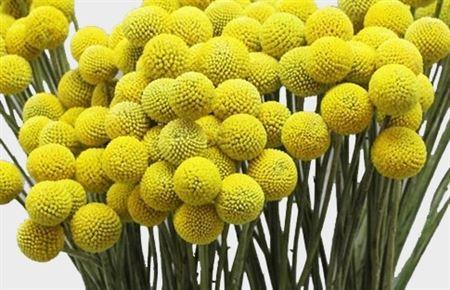 Craspedia yellow(Краспедия еллоу) В70