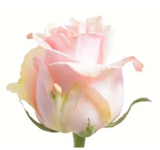 Rose Trust (Роза Траст) B40 Royal Flowers