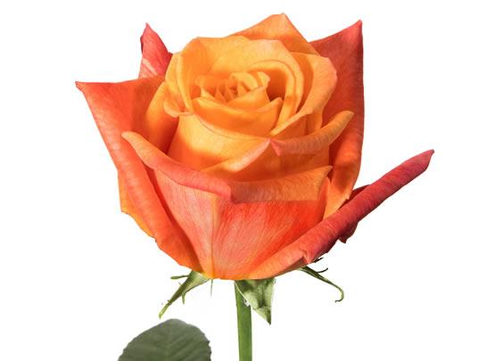 Rose Sunset Glory (Роза Сансет Глори) B40 Piaveri