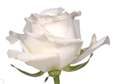 Rose Snowy Jewel (Роза Сноуи Джуел) B60 Royal Flowers