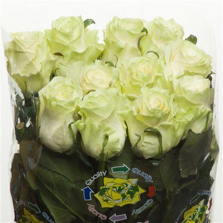 Rosa Mondial (Роза Мондиал) В70 Nevado