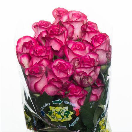 Rosa Carousel (Роза Карусель) В60 Flor Hermosa