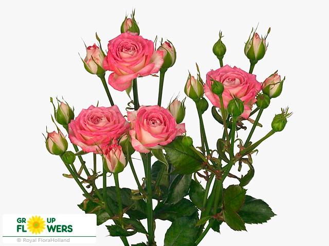 Spray Roses Assorted Colors ( Кустовая Роза микс ) B70 Royal Flowers