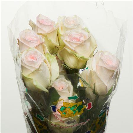 Rosa Garden White Ohara (Роза Гарден Вайт Охара) В50
