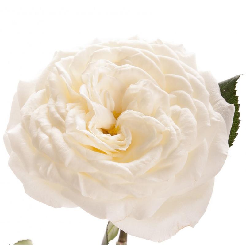 Rosa Garden Alabaster (Роза Гарден Алебастр) В50
