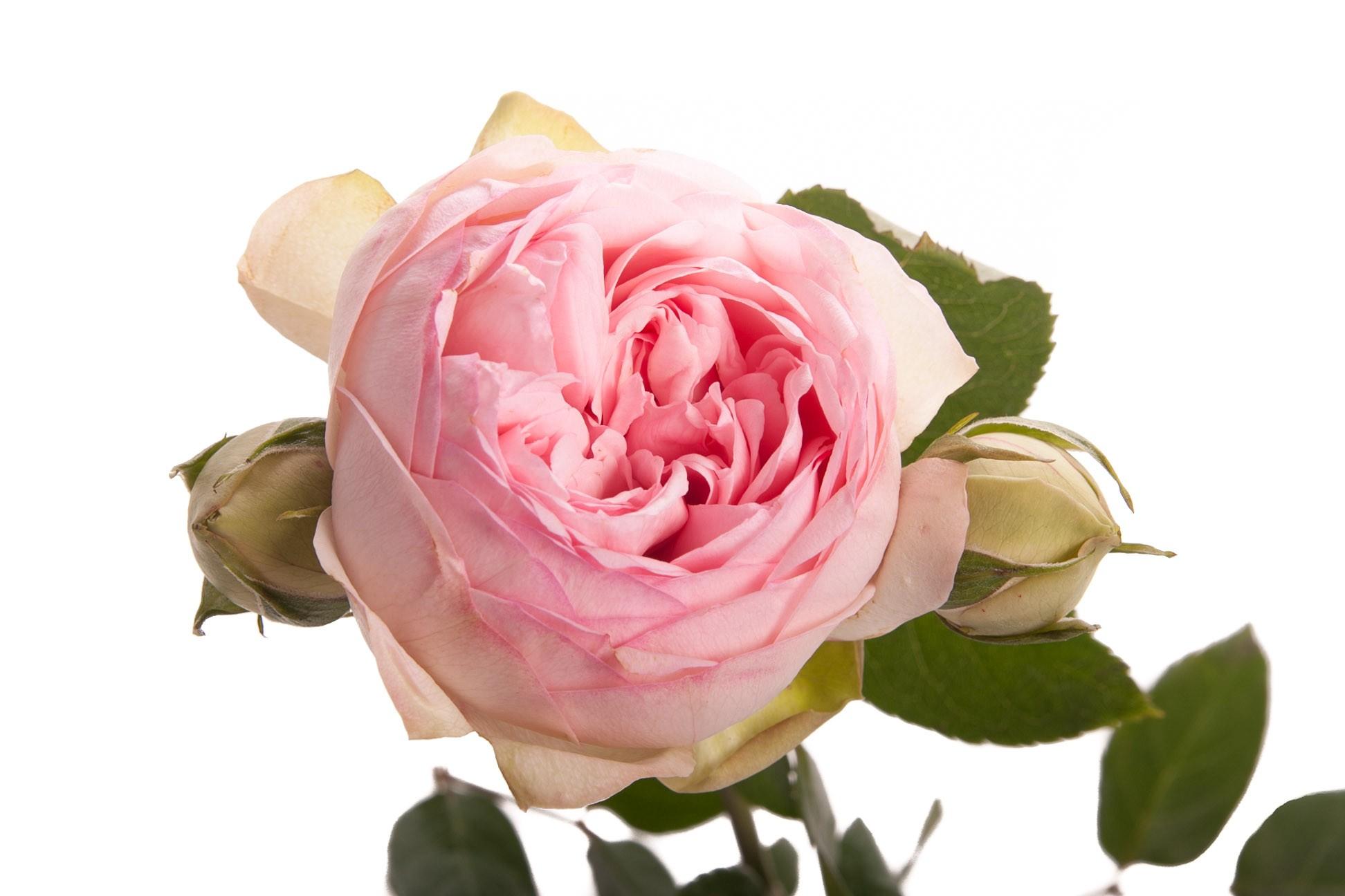 Rosa Garden Bridal Piano (Роза Гарден Бридал пиано) В60