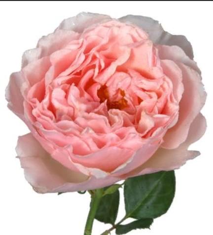 Rosa Garden Princes Charlene (Роза Гарден Принцес Шарлин) В50