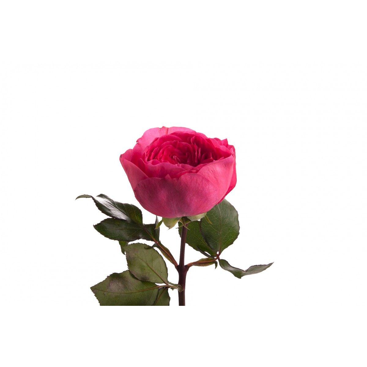 Rosa Garden Baronesse (Роза Гарден Баронессе) В50