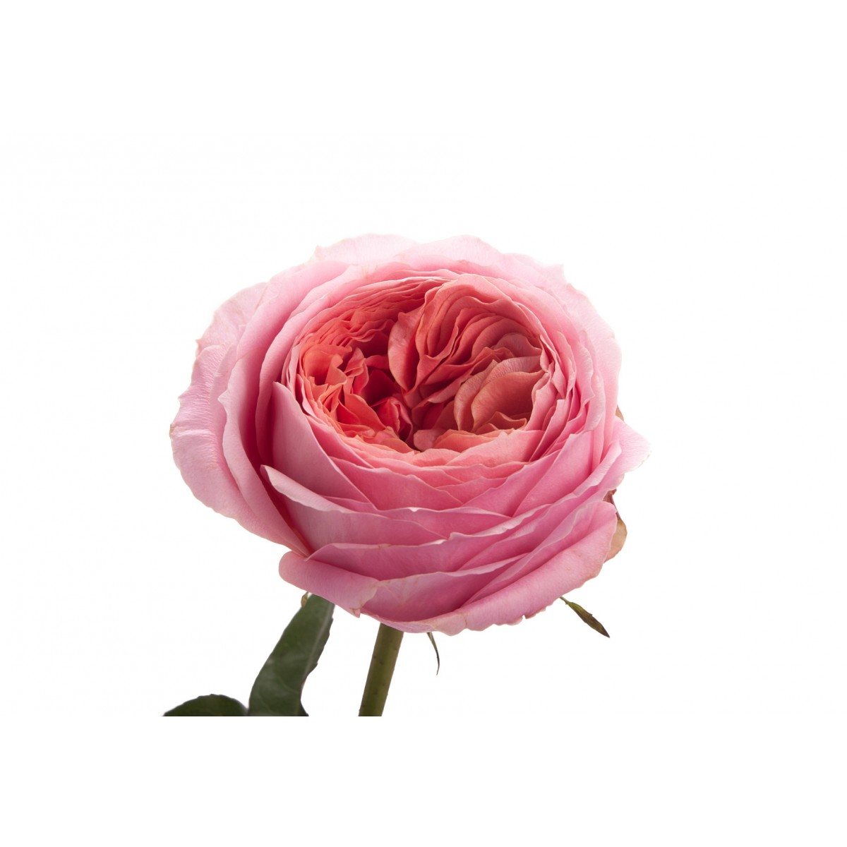 Rosa Garden Romantic Antique (Роза Гарден Романтик Антикви) В50