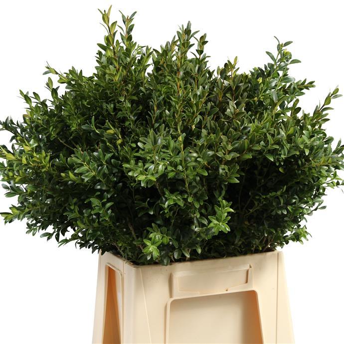 Buxus Green (P. Bunch) (Буксус Зеленый) В60
