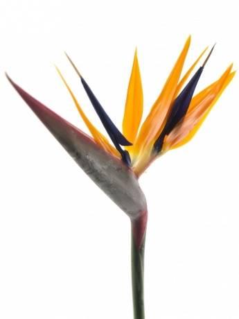 Strelitzia bloem (Стрелиция блоем) В70