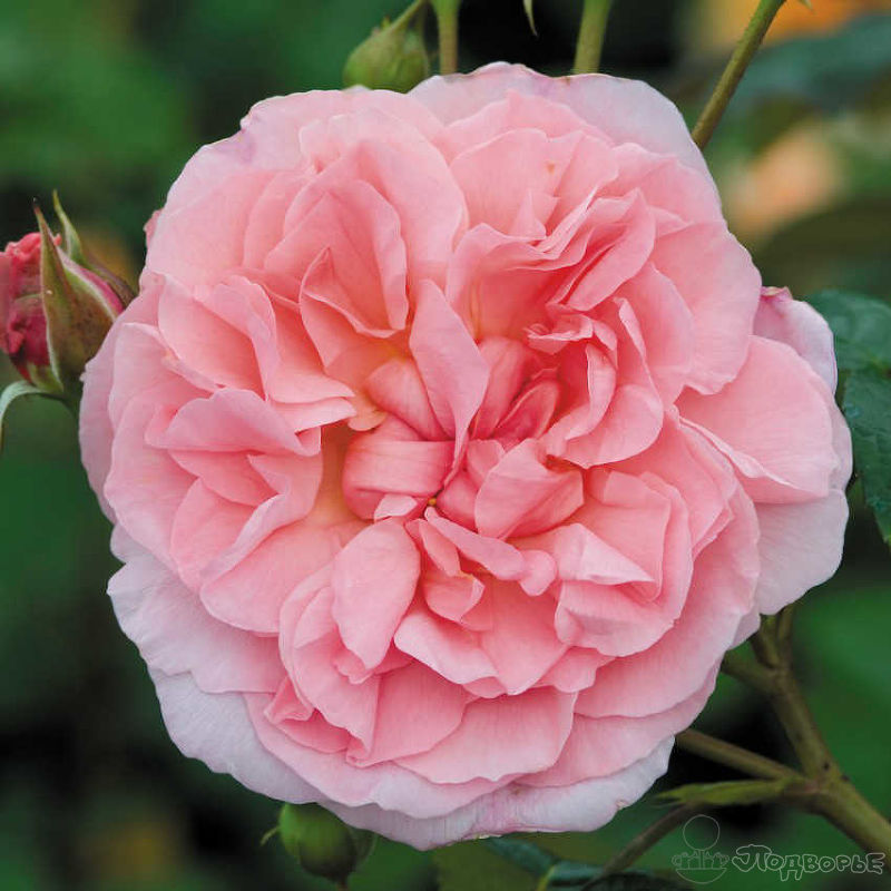 роза сорт магнит фото стиле чикаго идеальный