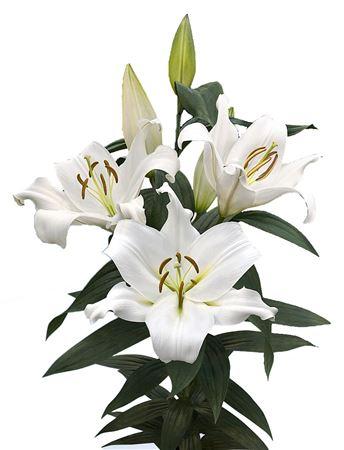 Lilium Or Zambesi (Лилия о Замбези) В105