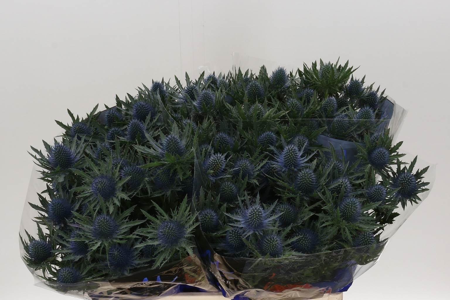 Eryngium Aqua Questar (Эрингиум Аква Квестар) В60