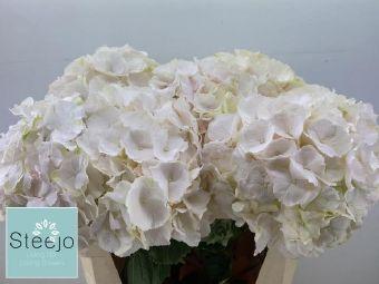 Hydrangea M Sweet Verena (Гортензия Свит Верена) В80
