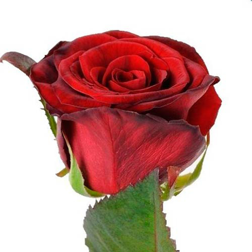 Rosa Gr Prestige (Роза Гр Престиж) В50