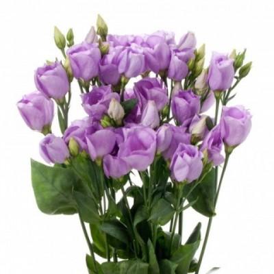 Eustoma Du Rosita Lavender (Эустома Ду Росита Лавандер) В75