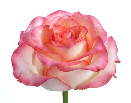 Rosa Gr Jumilia (Роза Гр Джумилия)  В60
