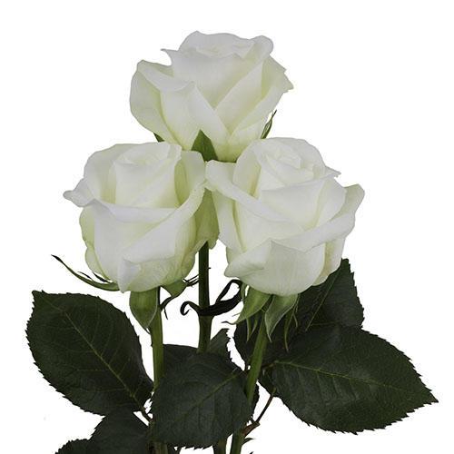 Rosa Gr Beluga (Роза Гр Белуга)В70 (MKSH)