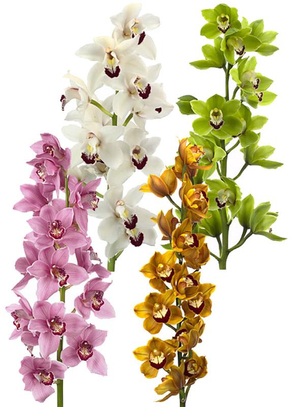 Cymbidium mix(Орхидея микс)В50