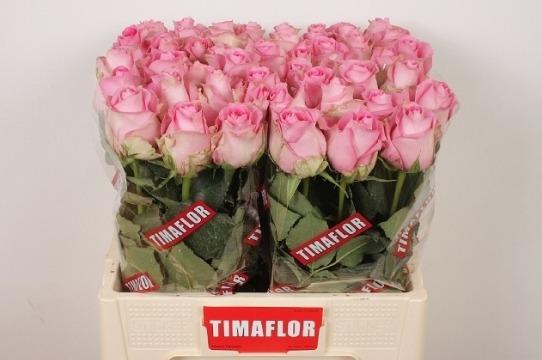 Rosa Gr Revival (Роза Гр Ревиваль)В60 (Цветы Удмуртии)