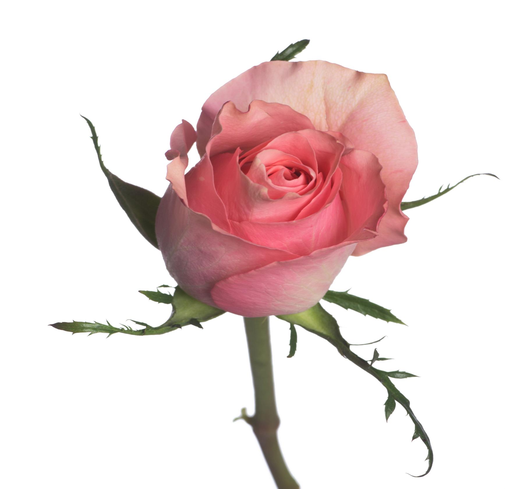 Rosa Ace Pink (Роза Айс Пинк) В40