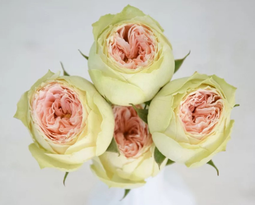 Rosa pavlova (Роза Павлова) В40