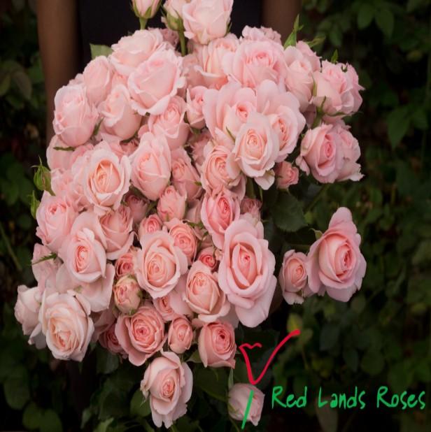 Rosa bellinda kiss (Роза Белинда кисс) В70