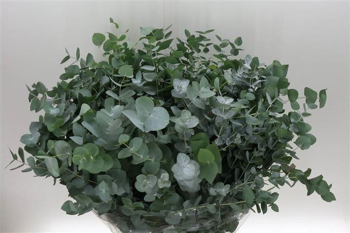 Eucalyptus cinerea (Эвкалипт цинерия) В50