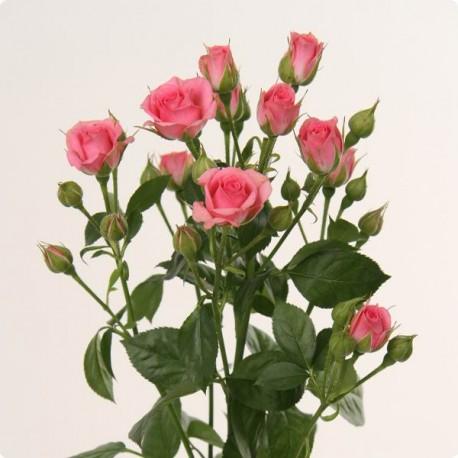 Rosa Spray Lidia (Роза Спрей Лидия) В50 (Цветы Удмуртии)