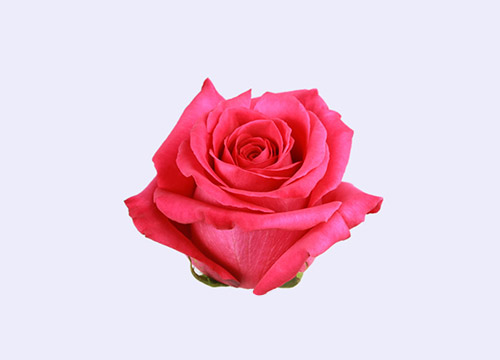 Роза PINK FLOYD (ПИНК ФЛОЙД) В50