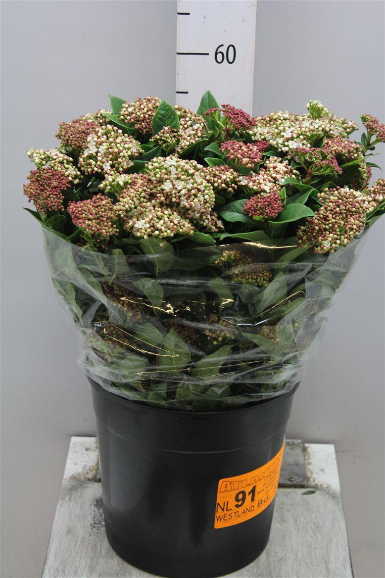 Viburnum roseum (Вибирнум розиум) В60
