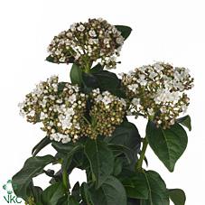 Viburnum Macro (Вибурнум Макро) В55