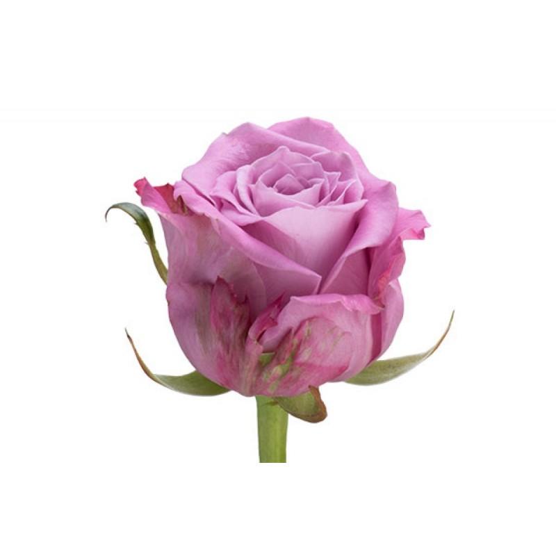 Rosa Gr Maritim (Роза Гр Маритим) (Цветы Удмуртии) В70