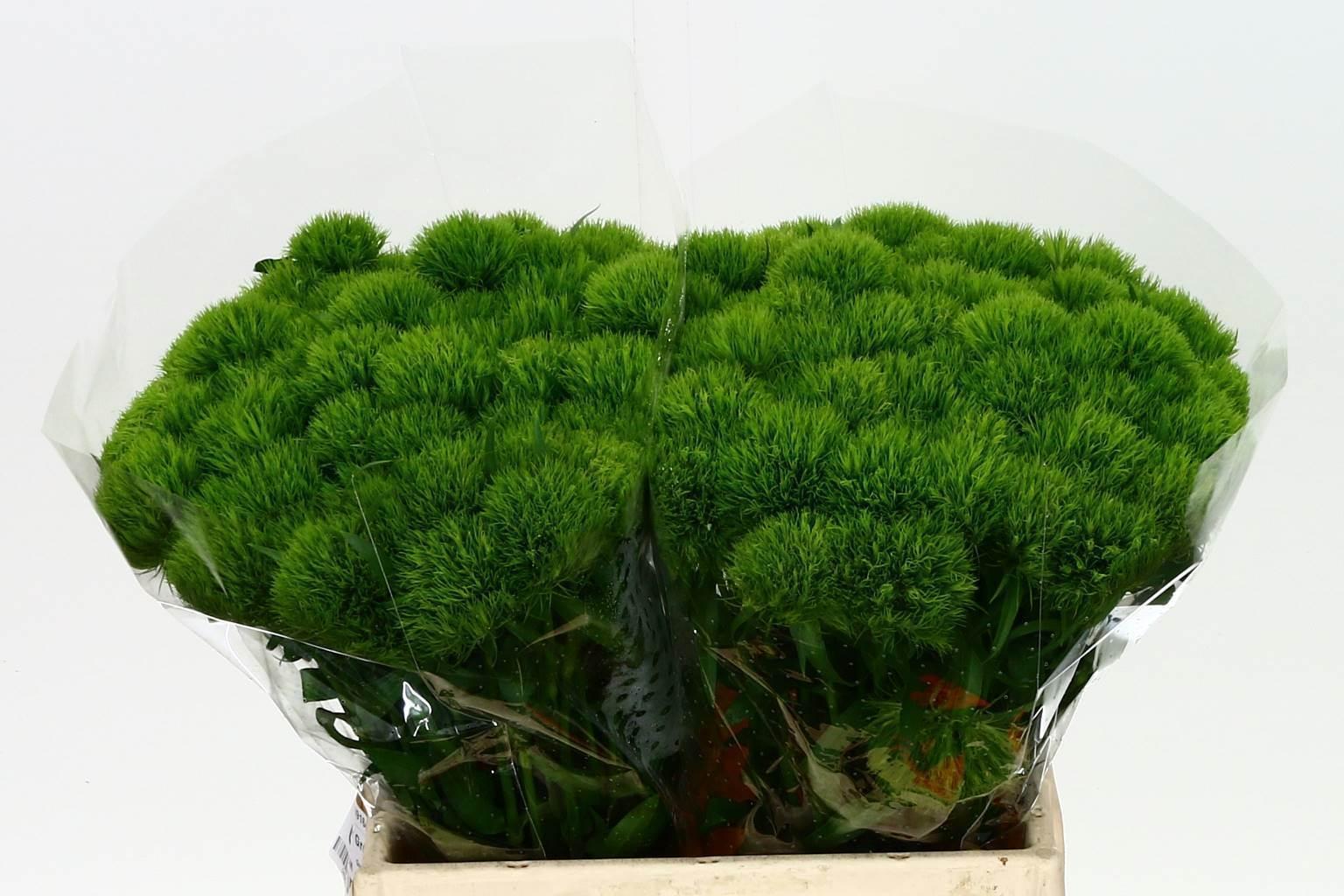 Dianthus Barb Green Wicky (Гвоздика Барб Крин Вики) В50