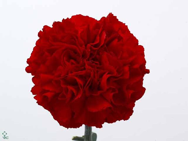 Dianthus st grand slam(Гвоздика ст Гранд Слэм) В55
