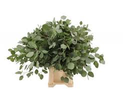 Eucalyptus Populus Blad (Эвкалипт Популус Блад ) В70