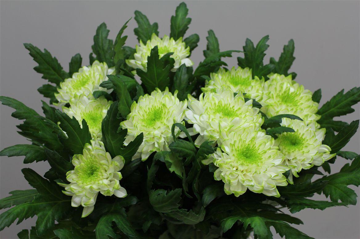 Chrys. gr. Zembla Lime (Хр. одн. Зембла лайм) В70