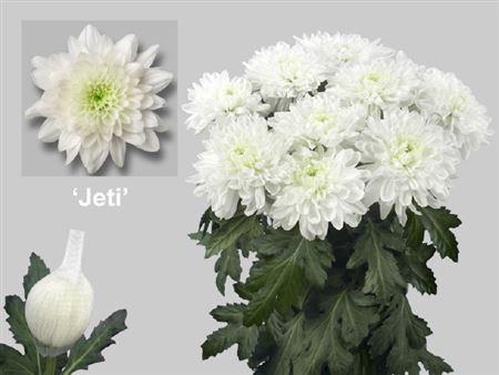 Chrys Gr Jeti (Хризантема одн. Йети) В70
