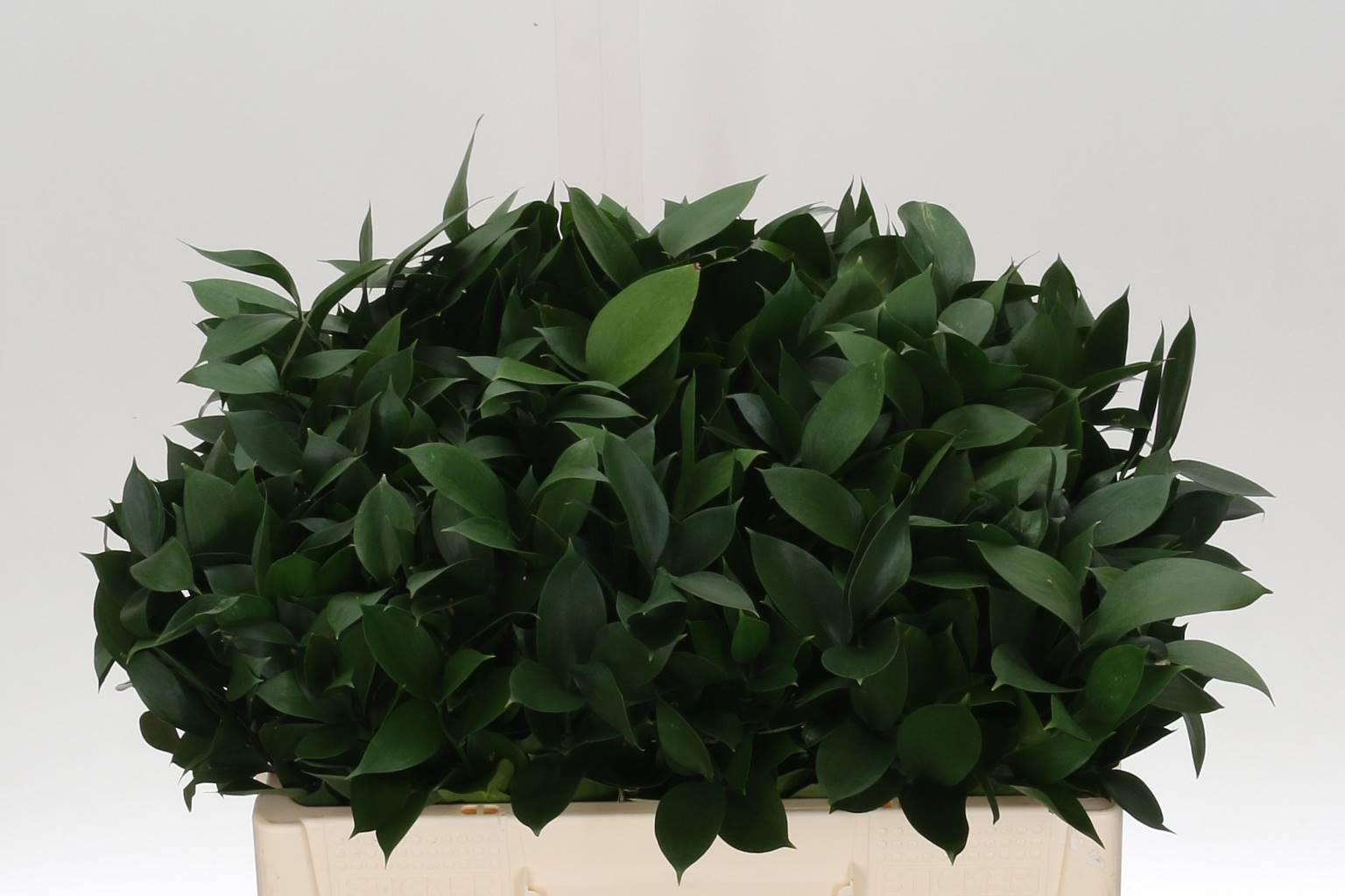 Ruscus Hypophyllum (Рускус Гипофилум) В70