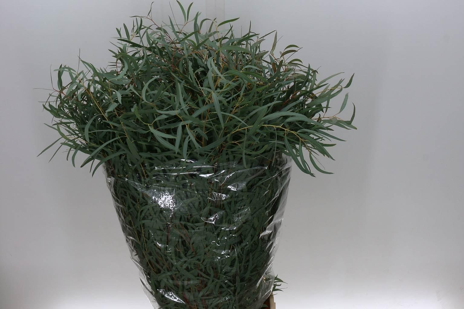 Eucaliptus Nicoli (Эвкалипт Николи) В60