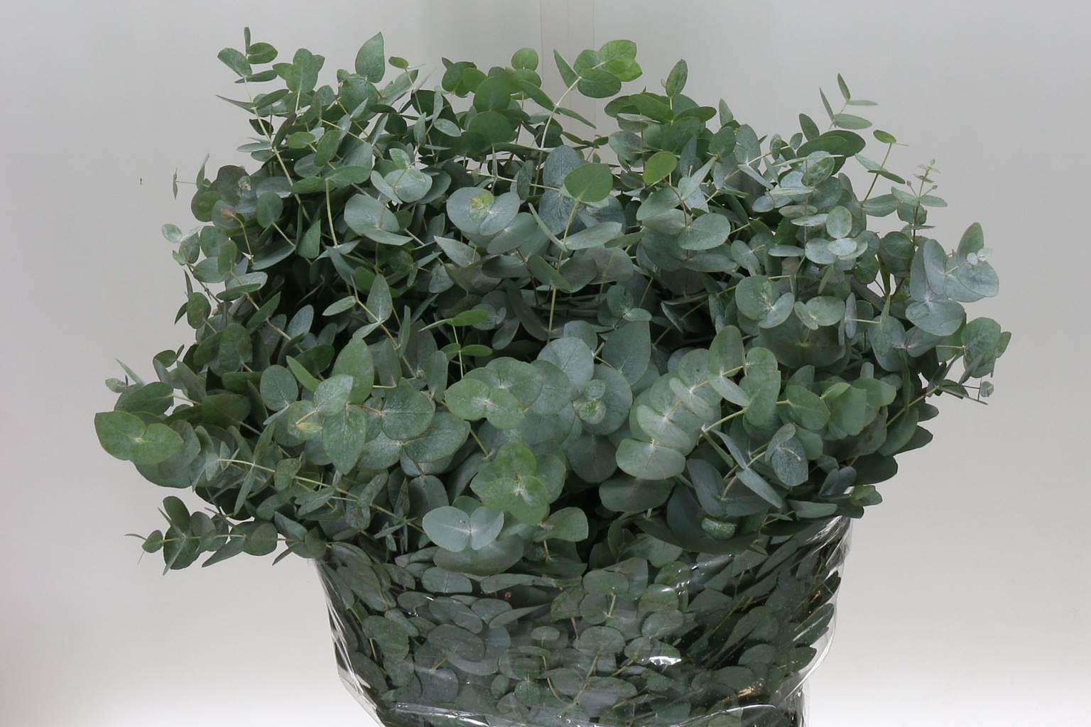 Eucalyptus cinerea (Эвкалипт цинерия) В70